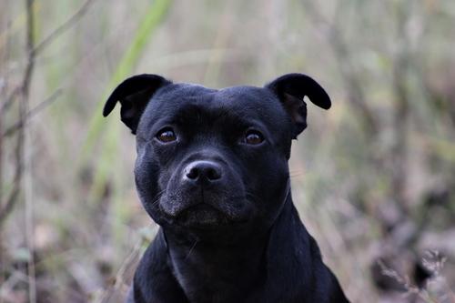 7d02b10562d Legoscha - stafordšírský bulteriér - Staffordshire Bull Terrier